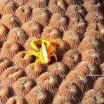 galatea sobre coral