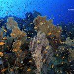 bonito arrecife de gorgonias con antias
