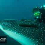 cría de tiburón ballena con buceador