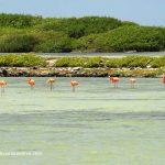 Flamingos rosas en la bahía de Bonaire