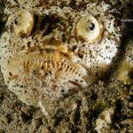 pez de cabeza muy grando y ojos saltones enterrado