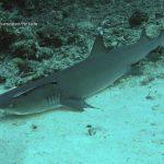 tiburón nodriza con rémora