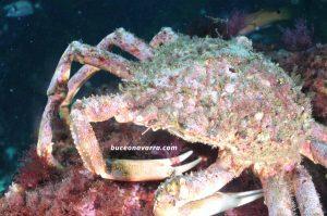 crustaceo de 10 patas