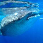 buceador fotografiando a un tiburon ballena