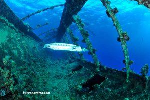 barracuda deambulando por el Umbria