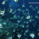 cardumen de peces estandarte