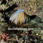 puesta de huevos de calamar en una roca